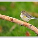 Yellow-rumped warbler by lindapp57