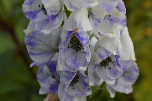 ACONITUM carmichaelii (Arendsii Group) 'Cloudy'