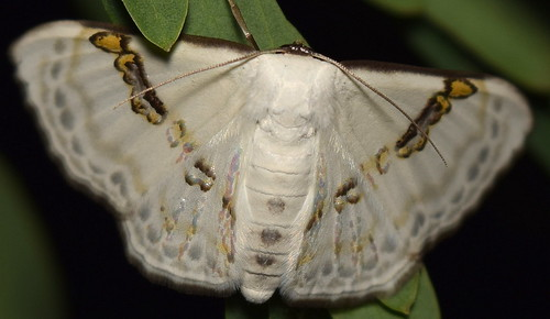 White Moth with Silver & Gold