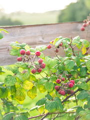 Blackberry time - Photo of Lison