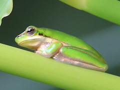 Northern dwarf treefrog (Litoria bicolor)