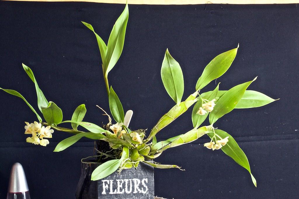 Dendrobium lamellatum 22869130505_4daaeb95f0_b