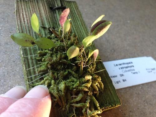 My new Lepanthopsis astrophora
