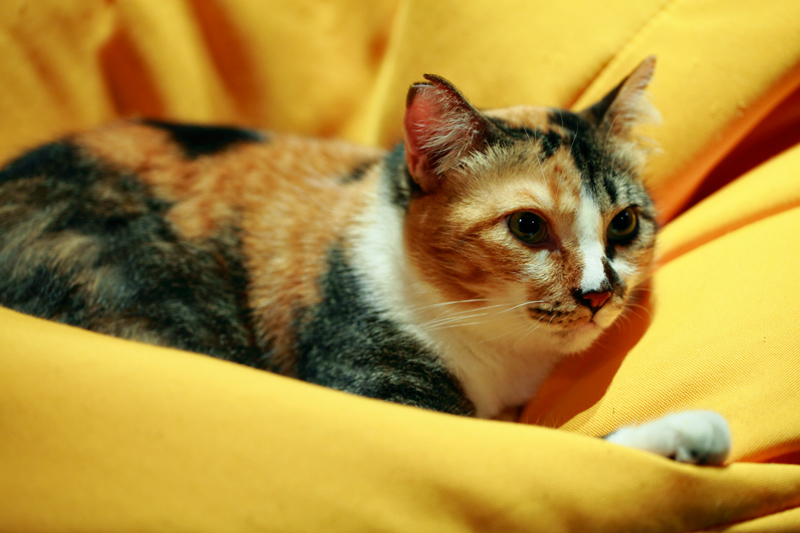TTDI Purradise Cat Cafe Brie