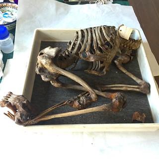 Skelet af 16 årig kvindelig Idiot.