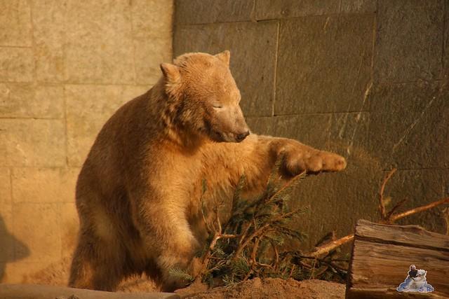 Eisbär Fiete im Zoo Rostock  0378