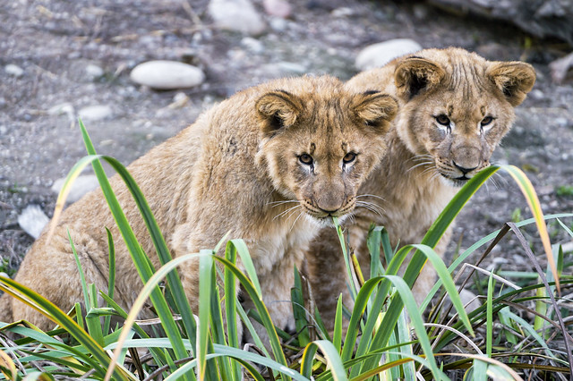 Two cubs behind the plants