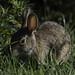 Rabbit_SAF3838-3