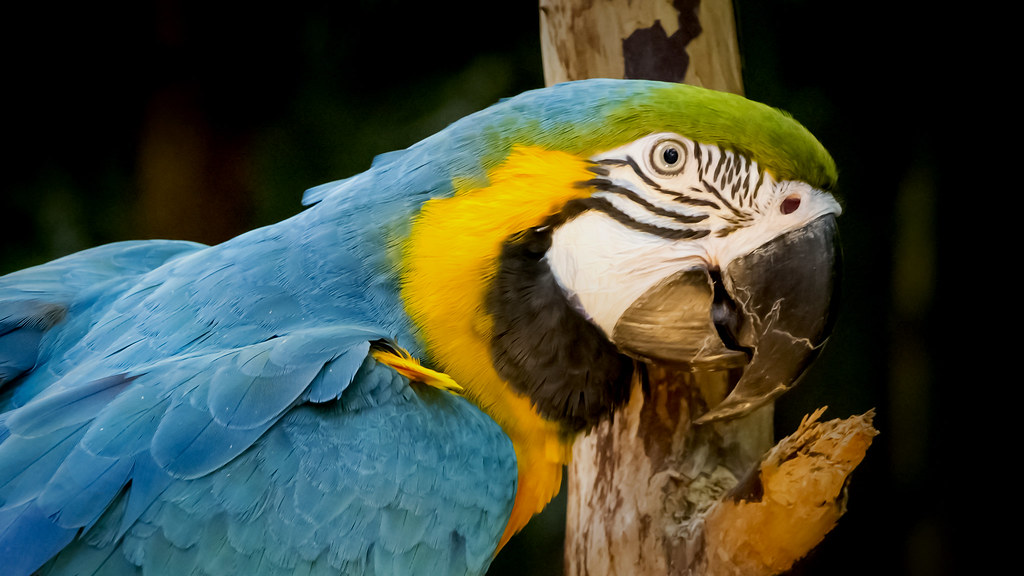 Blue-and-yellow Macaw (Ara ararauna) - Arara-canindé