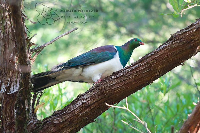 New Zealand pigeon / kererū (Hemiphaga novaeseelandiae)