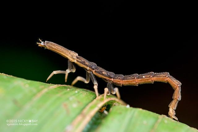Firefly larva (Lampyridae) - DSC_9082