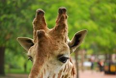 Giraffa camelopardalis reticulata DT [ES Zoo Madrid] (6)