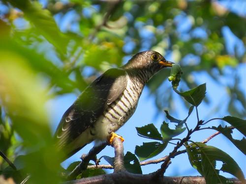 Juvenile Common Cuckoo