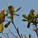 Small photo of Amazona leucocephala