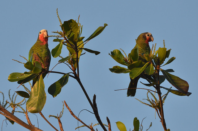 Header of Amazona leucocephala
