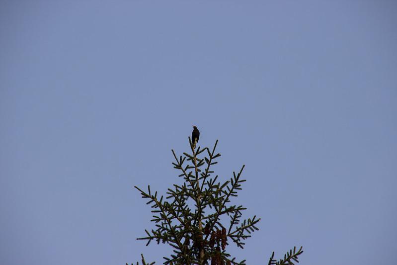 218 av 365 - Sångfågel