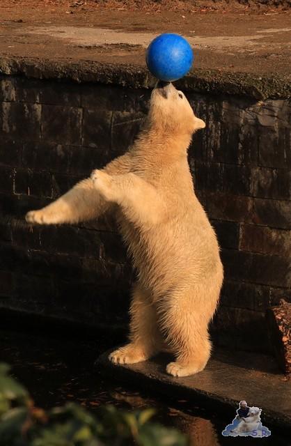 Eisbär Fiete im Zoo Rostock 31.10.2015 Teil 1  0141