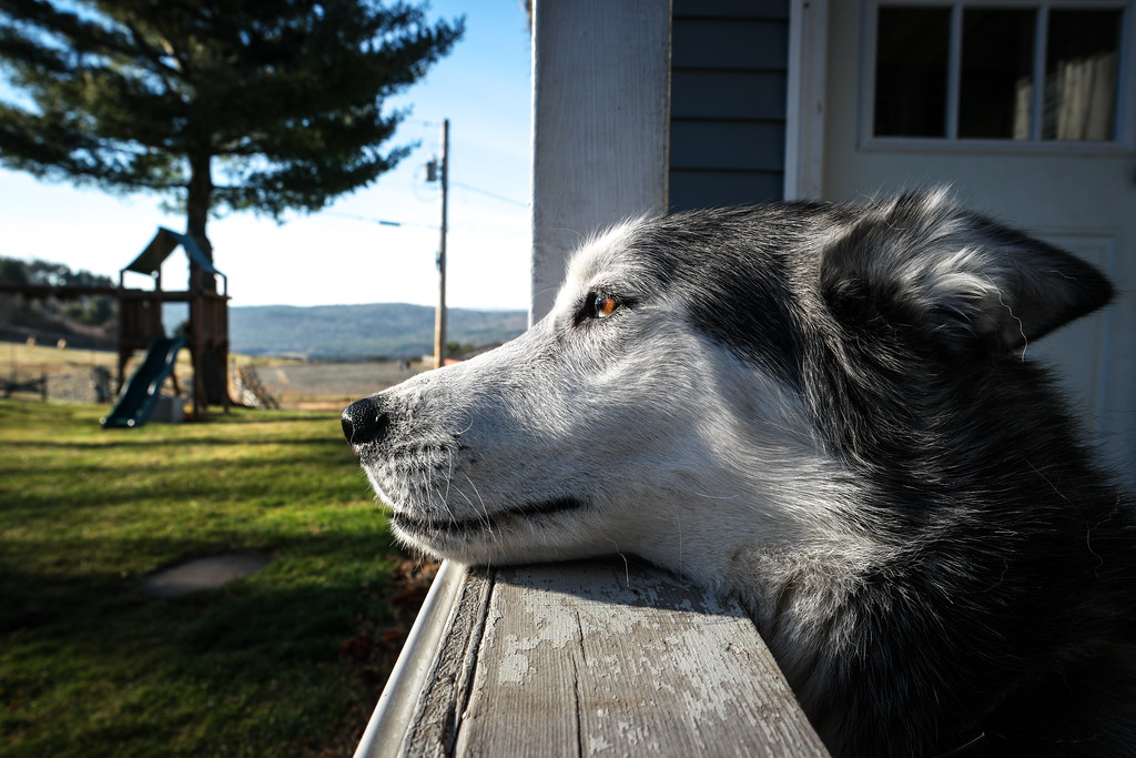 The Old Dog Watches Over the Farm
