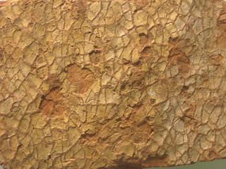 Mudcracks in sandstone (Cambrian; Washington County, Maryland, USA)