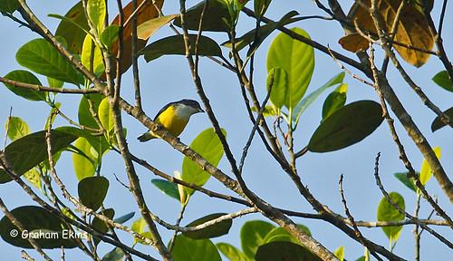 legge'sflowerpecker whitethroatedflowerpecker dicaeumvincens srilankaendemic sinharajaforest grahamekins 9017