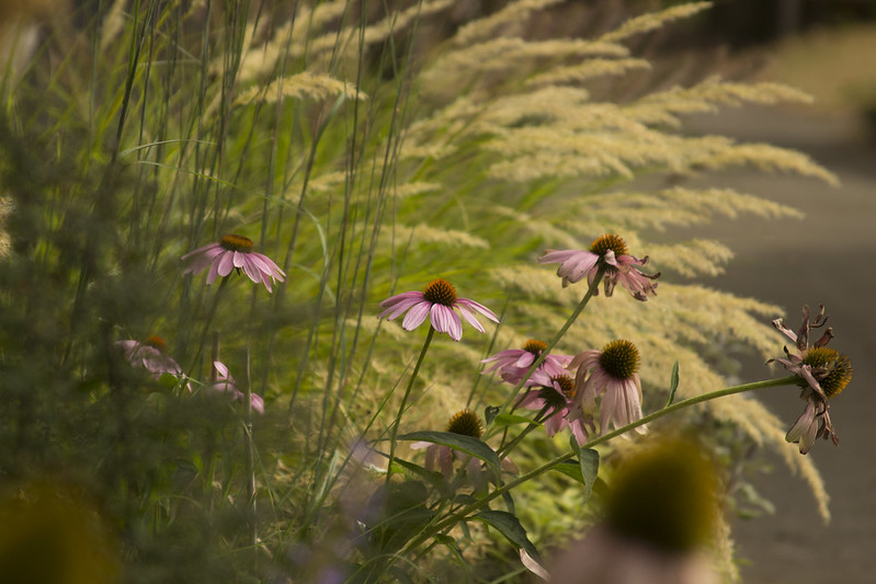 echinacea and achnatherum