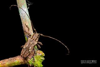Longhorn beetle (Hesychotypa liturata) - DSC_3056