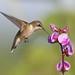 Ruby-throated Hummingbird by asparks306