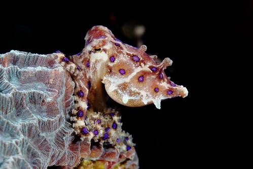Hapalochlaena sp. 藍環章魚