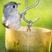 Tufted titmouse in a cup_DSC6229 by nkatesphotography