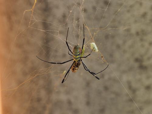 捕食中のジョロウグモ