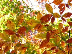 American Beech Leaves