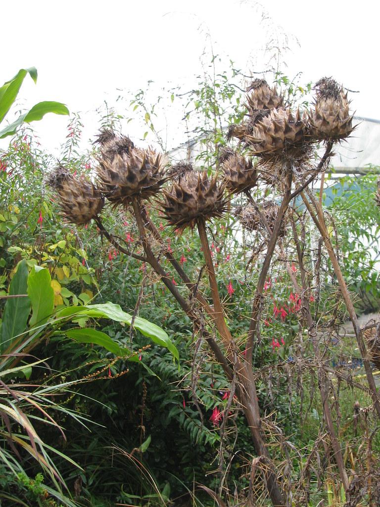 Cynara cardunculus flavescens
