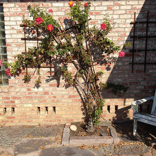 But some #roses have thrived