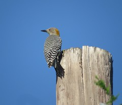 Golden-fronted Woodpecker/ RGVBF/ Nov 4 thru 8 2015
