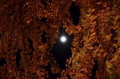 Supermoon in the Gingko Tree