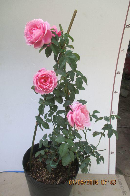 Hình ảnh cây hồng ngoại Soeur Emmanuelle Rose vào thời điểm tháng 10/2016