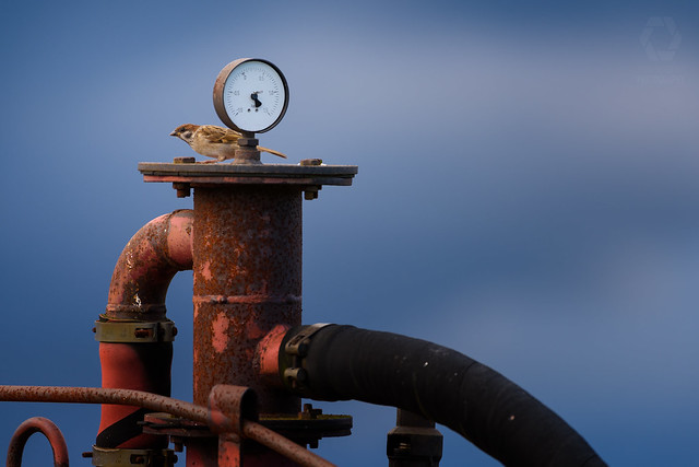 Sparrow checking air pressure before take off
