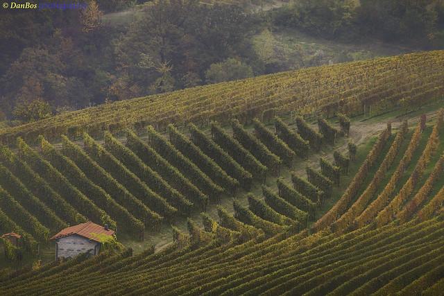 Langhe - Piedmont (Italy): Vineyards in Autumn