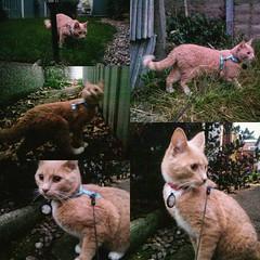 Exploring safely.  #noyoucantgoupatree #igcats #catsofinstagram #cats #walkies