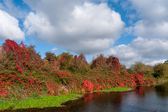 Red autumn leaves and green pond weed