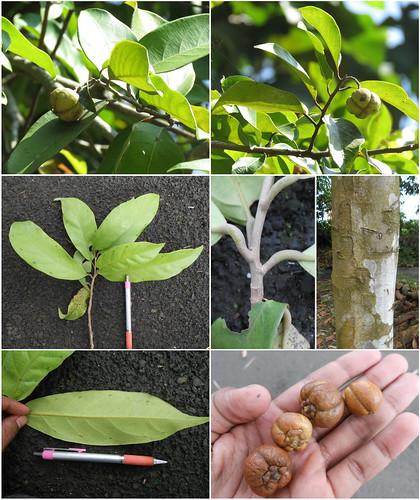 Dipterocarpaceae—(Vatica pauciflora Blume)