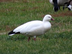 Ross's Goose/ Rivertowne Marina soccer fields/ 12-3-2016