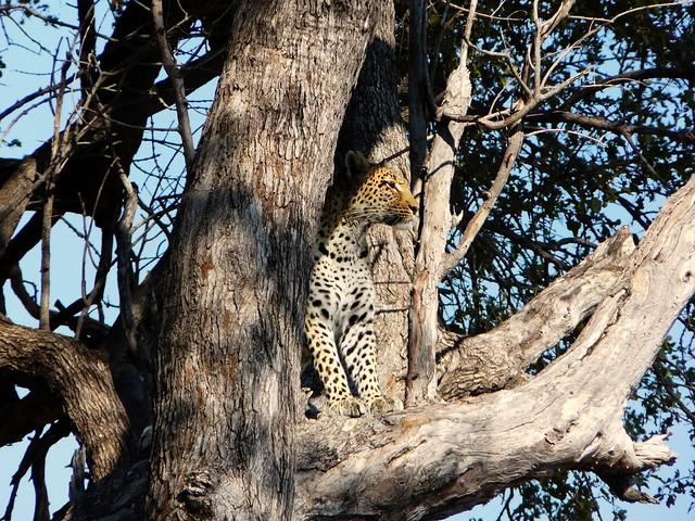 Leopardo fotografiado en Moremi durante mi primer viaje a Botswana