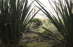 agave, garden, leaf, grass, flora,