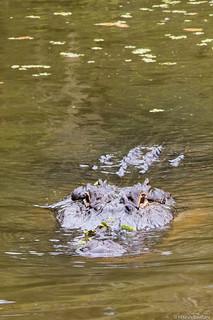 Gator Stalking