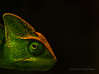 Karma~Chameleon by limebluphotography