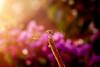 Dragonfly Dream - Nikon D200 + Vivitar 90mm F2.5 Macro by Phet Live