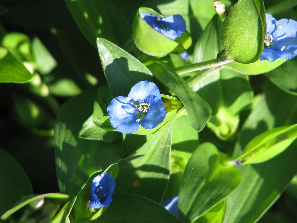 Commelina tuberosa ex BSWJ10353