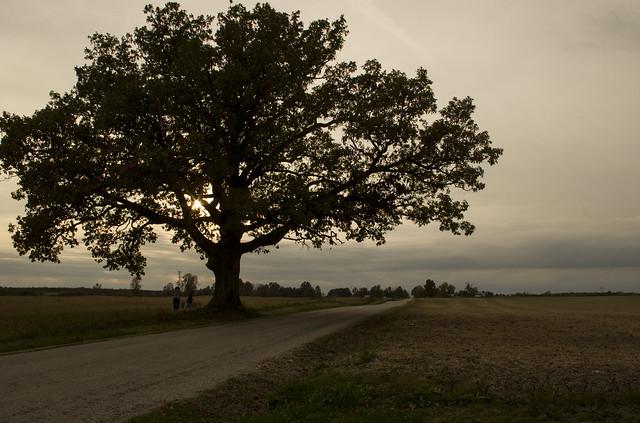 Great big tree