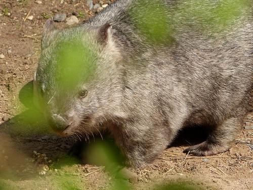 Nacktnasenwombat